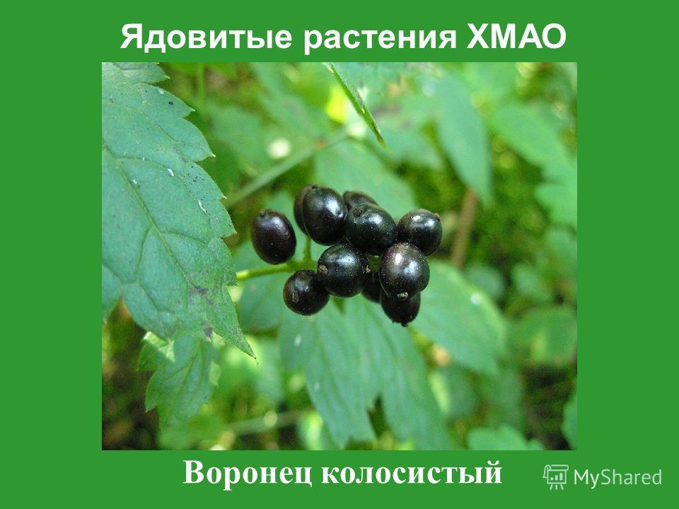 Ядовитые растения ХМАО Воронец колосистый