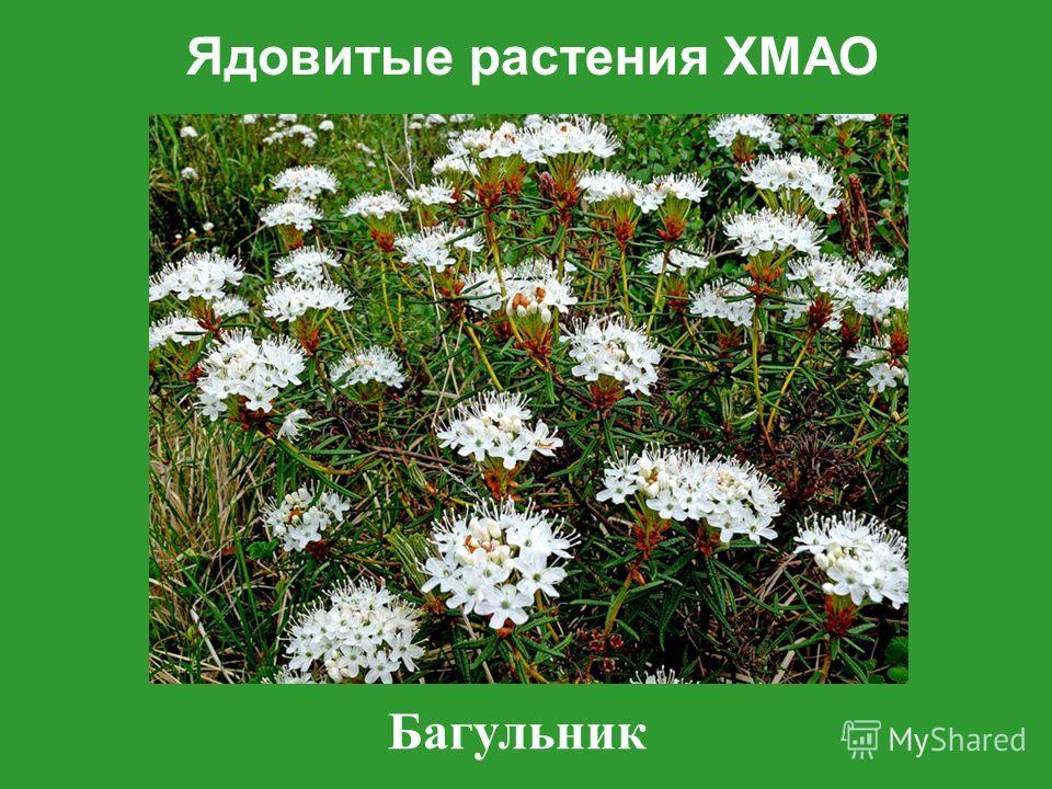 Ядовитые растения ХМАО Багульник