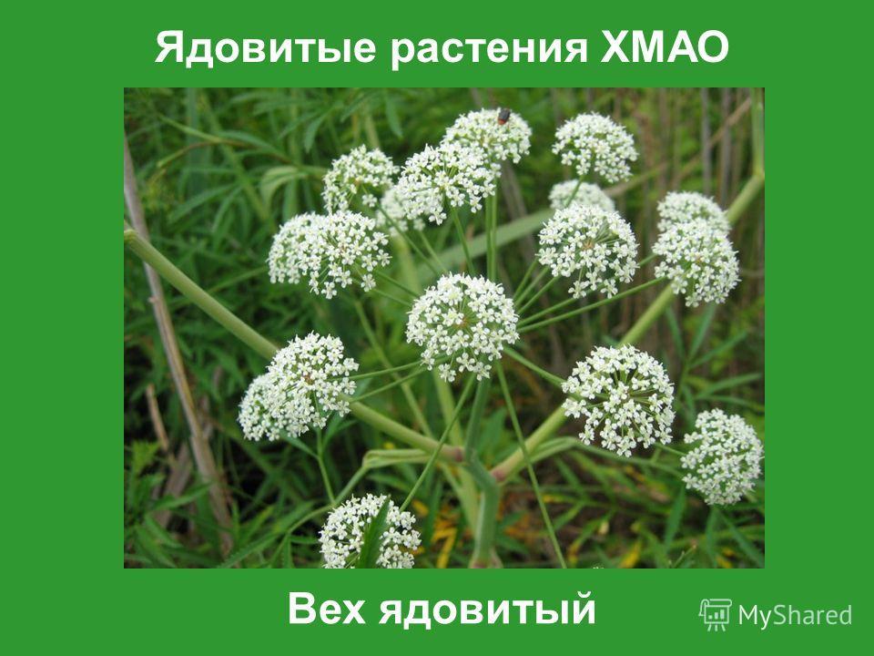 Ядовитые растения ХМАО Вех ядовитый