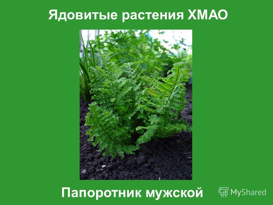 Ядовитые растения ХМАО Папоротник мужской