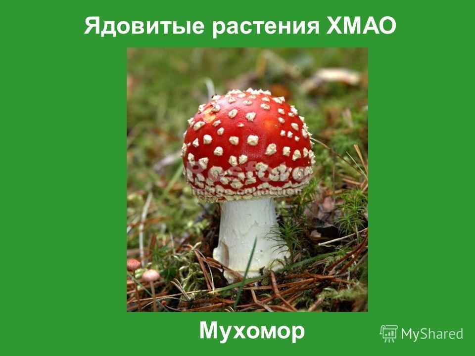 Ядовитые растения ХМАО Мухомор