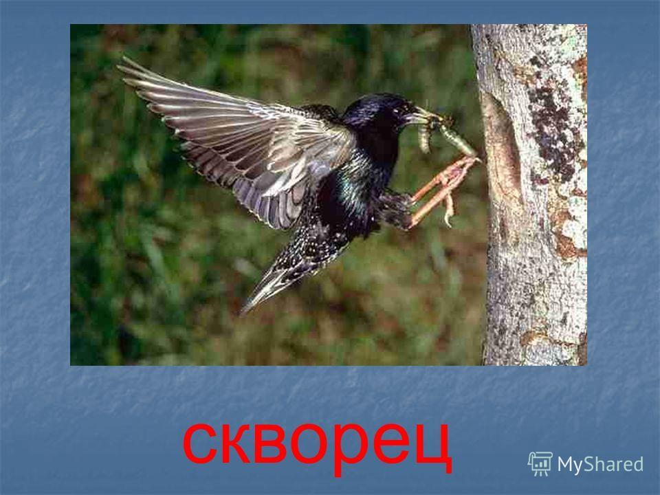 ЛЕСА ТайгаСмешанные Широко- лиственные деревья животные деревья животные деревья