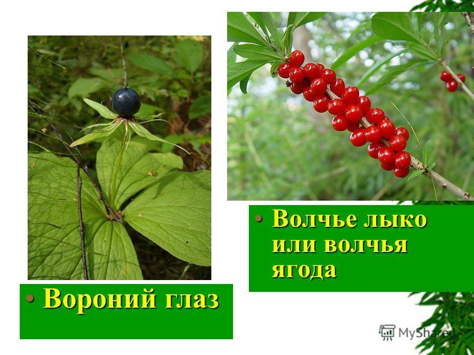 Волчье лыко или волчья ягодаВолчье лыко или волчья ягода Вороний глазВороний глаз