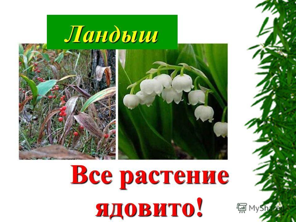 Ландыш Все растение ядовито!