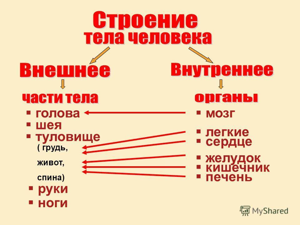 голова шея туловище ( грудь, живот, спина) руки ноги мозг легкие сердце желудок кишечник печень