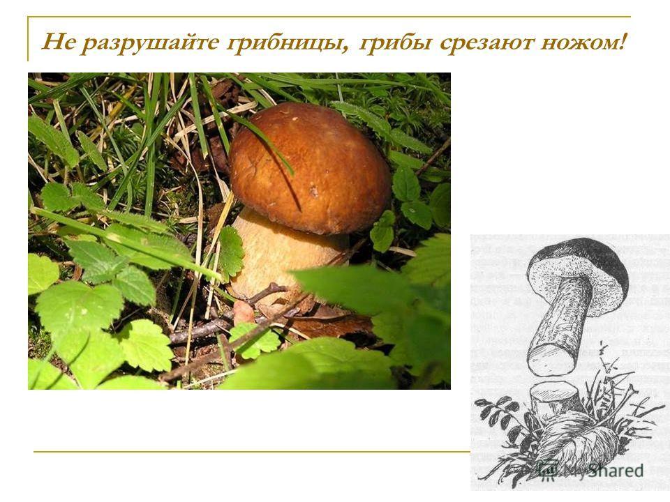 Не разрушайте грибницы, грибы срезают ножом!