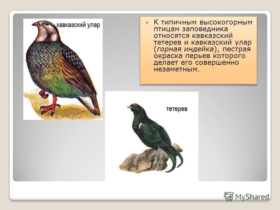 К типичным высокогорным птицам заповедника относятся кавказский тетерев и кавказский улар (горная индейка), пестрая окраска перьев которого делает его совершенно незаметным. кавказский улар тетерев