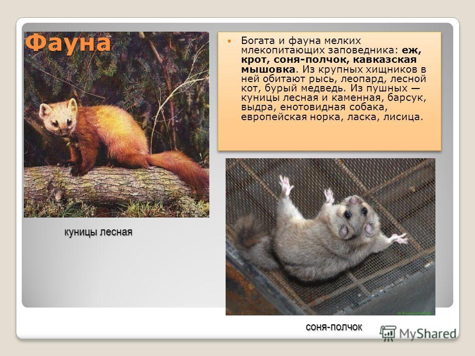 Фауна Богата и фауна мелких млекопитающих заповедника: еж, крот, соня-полчок, кавказская мышовка. Из крупных хищников в ней обитают рысь, леопард, лесной кот, бурый медведь. Из пушных куницы лесная и каменная, барсук, выдра, енотовидная собака, европ