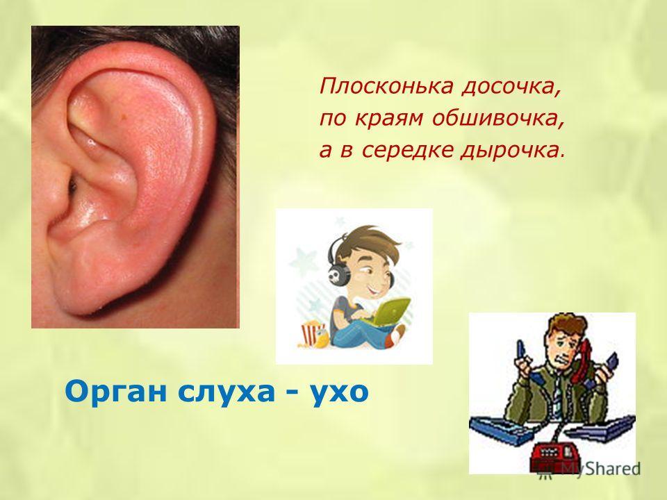 Орган слуха - ухо Плосконька досочка, по краям обшивочка, а в середке дырочка.