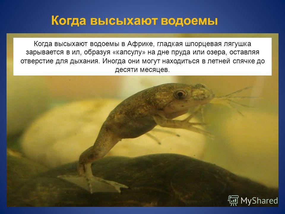 Когда высыхают водоемы в Африке, гладкая шпорцевая лягушка зарывается в ил, образуя « капсулу » на дне пруда или озера, оставляя отверстие для дыхания. Иногда они могут находиться в летней спячке до десяти месяцев. Когда высыхают водоемы
