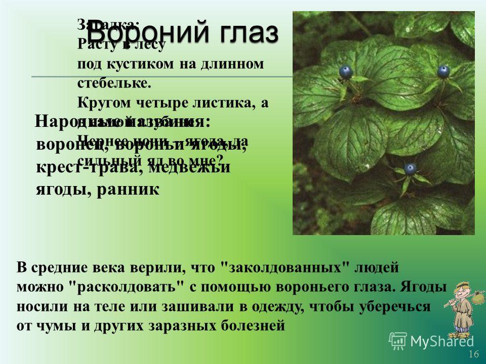 Народные названия : воронец, вороньи ягоды, крест - трава, медвежьи ягоды, ранник 16 В средние века верили, что