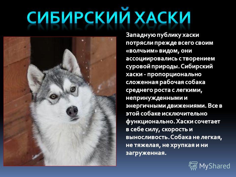 Западную публику хаски потрясли прежде всего своим «волчьим» видом, они ассоциировались с творением суровой природы. Сибирский хаски - пропорционально сложенная рабочая собака среднего роста с легкими, непринужденными и энергичными движениями. Все в
