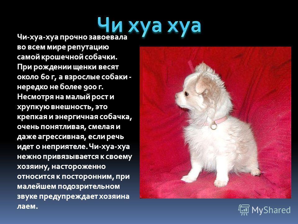 Чи-хуа-хуа прочно завоевала во всем мире репутацию самой крошечной собачки. При рождении щенки весят около 60 г, а взрослые собаки - нередко не более 900 г. Несмотря на малый рост и хрупкую внешность, это крепкая и энергичная собачка, очень понятлива
