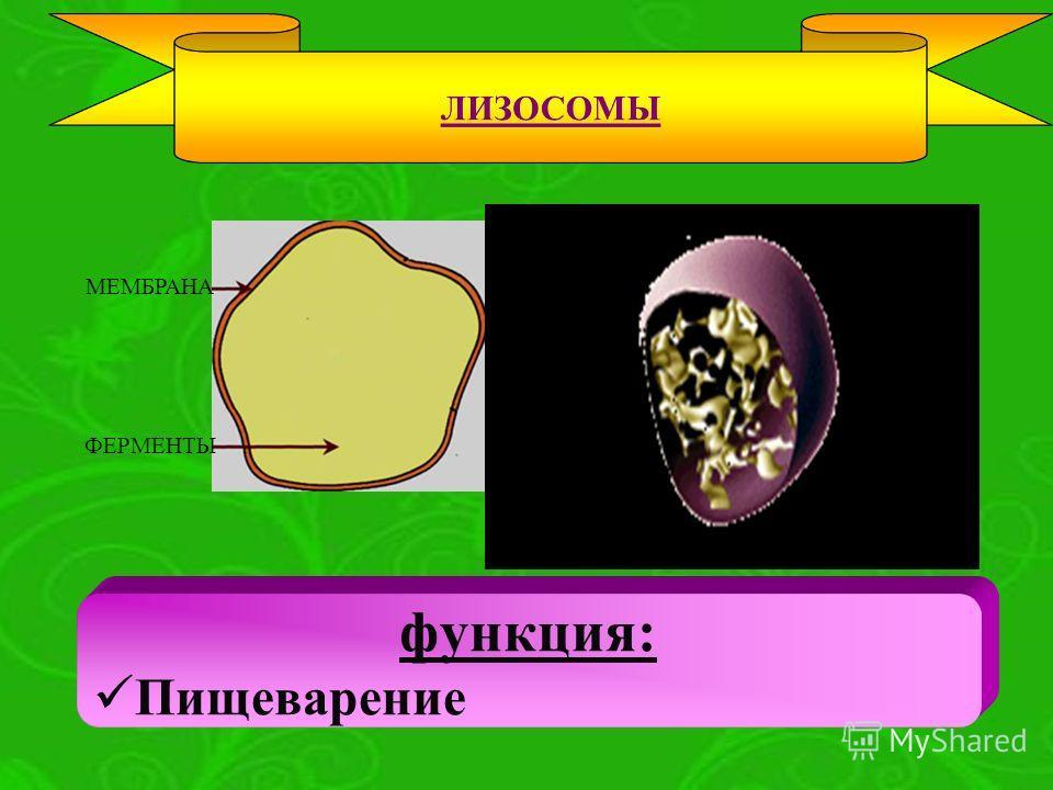 МЕМБРАНА ФЕРМЕНТЫ функция: Пищеварение