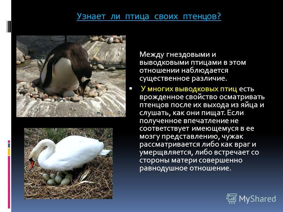 Узнает ли птица своих птенцов? Между гнездовыми и выводковыми птицами в этом отношении наблюдается существенное различие. У многих выводковых птиц есть врожденное свойство осматривать птенцов после их выхода из яйца и слушать, как они пищат. Если пол