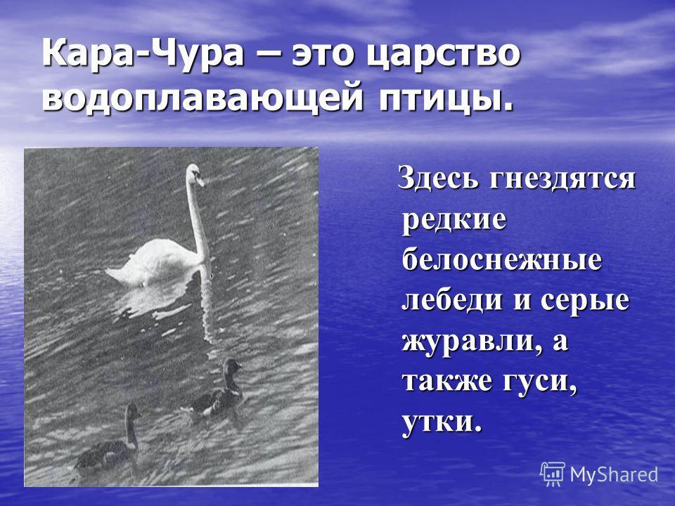 Кара-Чура – это царство водоплавающей птицы. Здесь гнездятся редкие белоснежные лебеди и серые журавли, а также гуси, утки. Здесь гнездятся редкие белоснежные лебеди и серые журавли, а также гуси, утки.