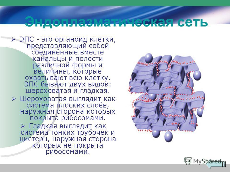 Эндоплазматическая сеть ЭПС - это органоид клетки, представляющий собой соединённые вместе канальцы и полости различной формы и величины, которые охватывают всю клетку. ЭПС бывают двух видов: шероховатая и гладкая. Шероховатая выглядит как система пл