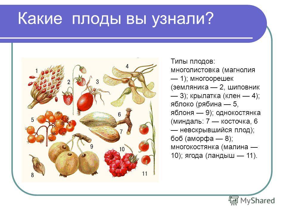 Какие плоды вы узнали? Типы плодов: многолистовка (магнолия 1); многоорешек (земляника 2, шиповник 3); крылатка (клен 4); яблоко (рябина 5, яблоня 9); однокостянка (миндаль: 7 косточка, 6 невскрывшийся плод); боб (аморфа 8); многокостянка (малина 10)