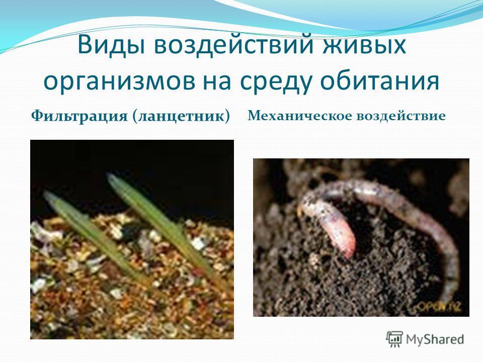 Виды воздействий живых организмов на среду обитания Фильтрация (ланцетник) Механическое воздействие