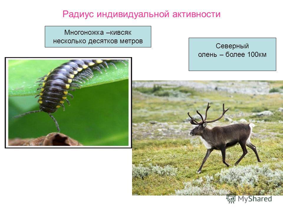 Радиус индивидуальной активности Северный олень – более 100км Многоножка –кивсяк несколько десятков метров