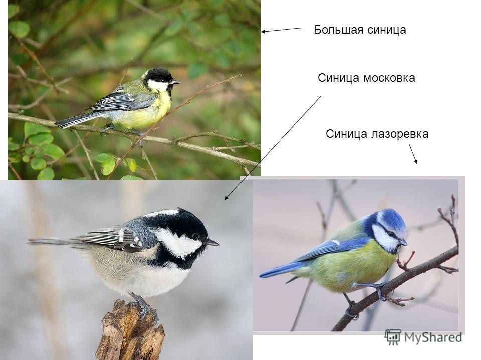 Большая синица Синица московка Синица лазоревка