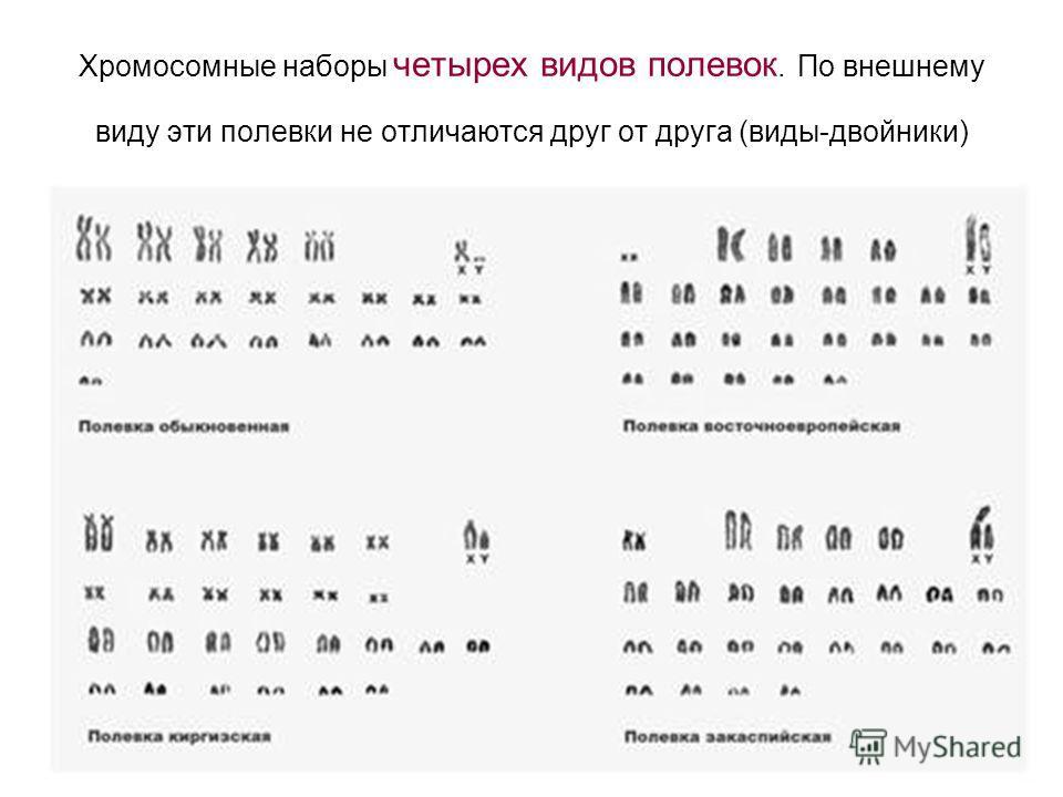 Хромосомные наборы четырех видов полевок. По внешнему виду эти полевки не отличаются друг от друга (виды-двойники)