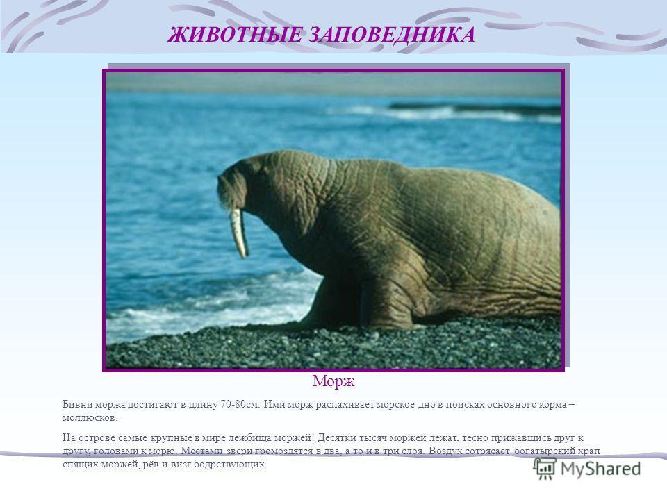 ЖИВОТНЫЕ ЗАПОВЕДНИКА Морж Бивни моржа достигают в длину 70-80см. Ими морж распахивает морское дно в поисках основного корма – моллюсков. На острове самые крупные в мире лежбища моржей! Десятки тысяч моржей лежат, тесно прижавшись друг к другу, голова