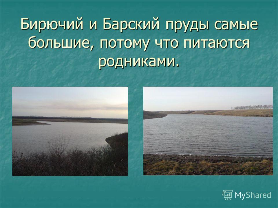 Бирючий и Барский пруды самые большие, потому что питаются родниками.
