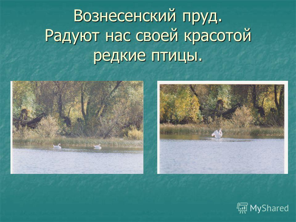 Вознесенский пруд. Радуют нас своей красотой редкие птицы.
