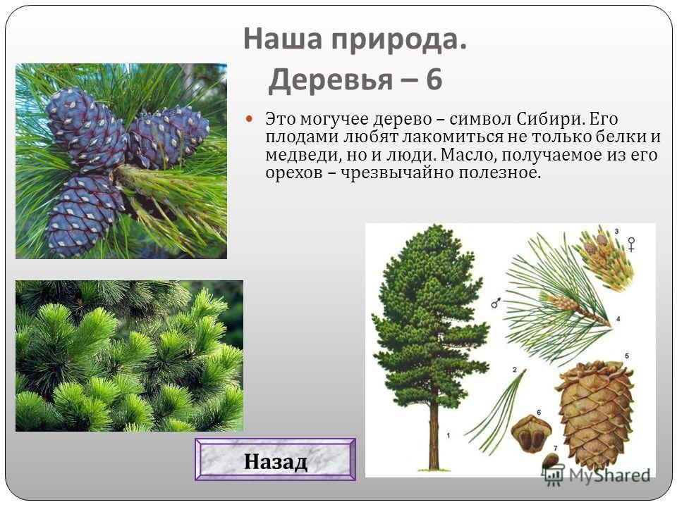 Это могучее дерево – символ Сибири. Его плодами любят лакомиться не только белки и медведи, но и люди. Масло, получаемое из его орехов – чрезвычайно полезное. Наша природа. Деревья – 6 Назад