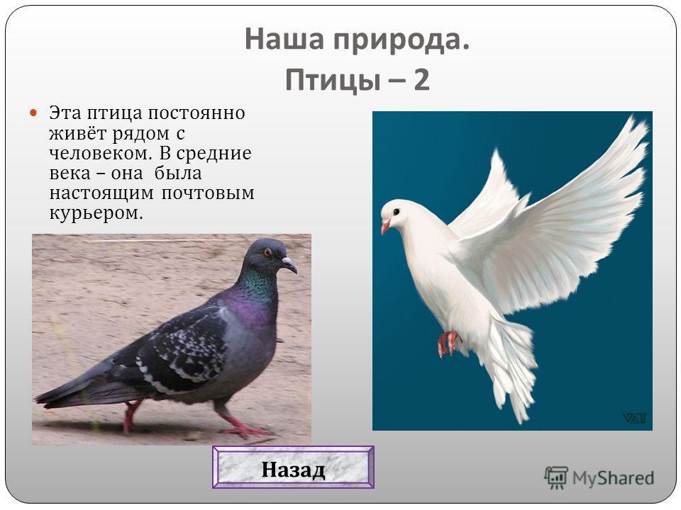 Эта птица постоянно живёт рядом с человеком. В средние века – она была настоящим почтовым курьером. Наша природа. Птицы – 2 Назад