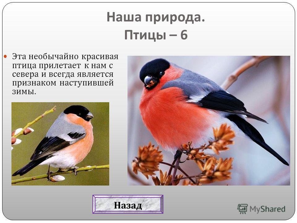 Эта необычайно красивая птица прилетает к нам с севера и всегда является признаком наступившей зимы. Наша природа. Птицы – 6 Назад