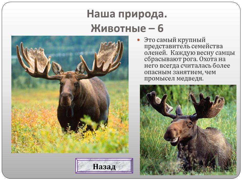 Это самый крупный представитель семейства оленей. Каждую весну самцы сбрасывают рога. Охота на него всегда считалась более опасным занятием, чем промысел медведя. Наша природа. Животные – 6 Назад