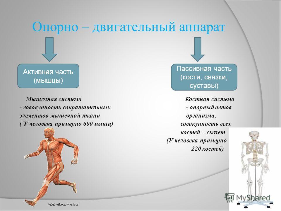 Опорно – двигательный аппарат Мышечная система Костная система - совокупность сократительных - опорный остов элементов мышечной ткани организма, ( У человека примерно 600 мышц) совокупность всех костей – скелет (У человека примерно 220 костей) Активн
