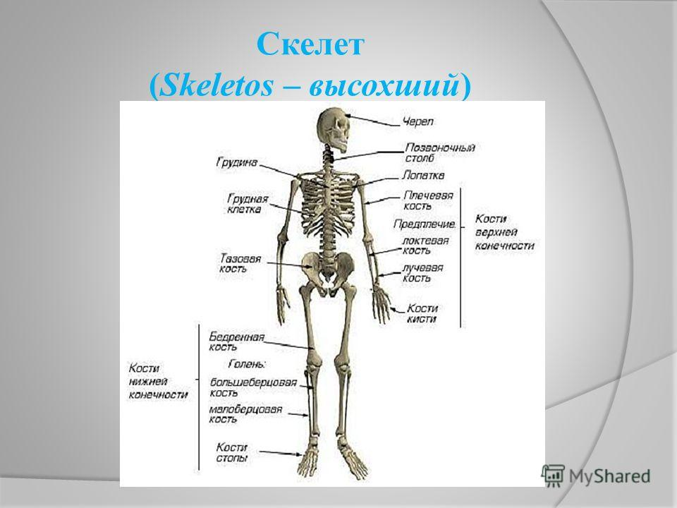 Скелет (Skeletos – высохший)