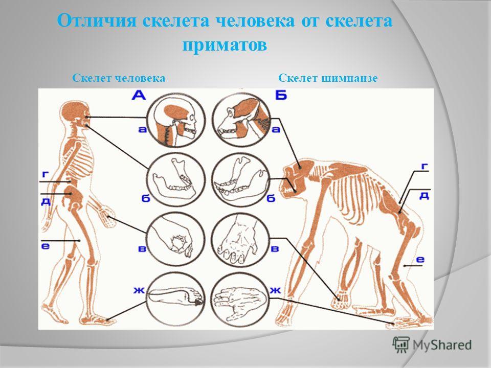 Отличия скелета человека от скелета приматов Скелет человека Скелет шимпанзе
