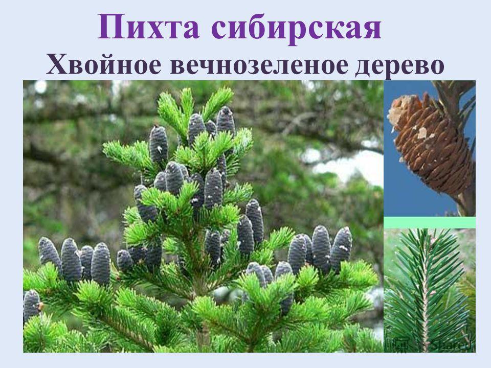 Домен: Эукариоты Царство: Растения Отдел: Хвойные Класс: Хвойные Порядок: Сосновые Семейство: Сосновые Род: Пихта Вид: Пихта сибирская