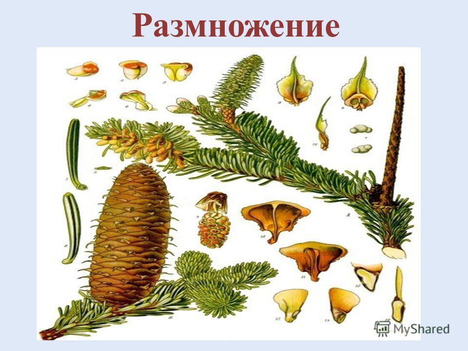 Хвойное вечнозеленое дерево Пихта сибирская