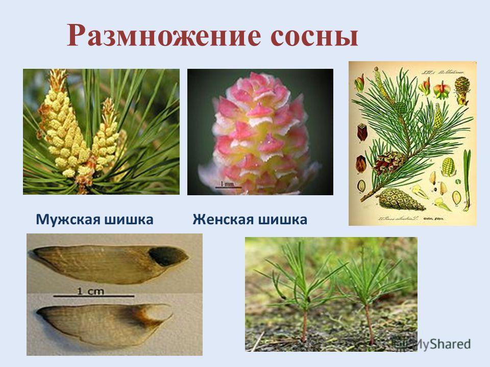 Домен: Эукариоты Царство: Растения Отдел: Хвойные Класс: Хвойные Порядок: Сосновые Семейство: Сосновые Род: Сосна Вид:Сосна обыкновенная