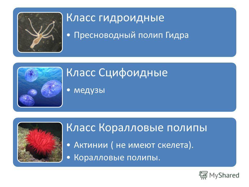 Класс гидроидные Пресноводный полип Гидра Класс Сцифоидные медузы Класс Коралловые полипы Актинии ( не имеют скелета). Коралловые полипы.
