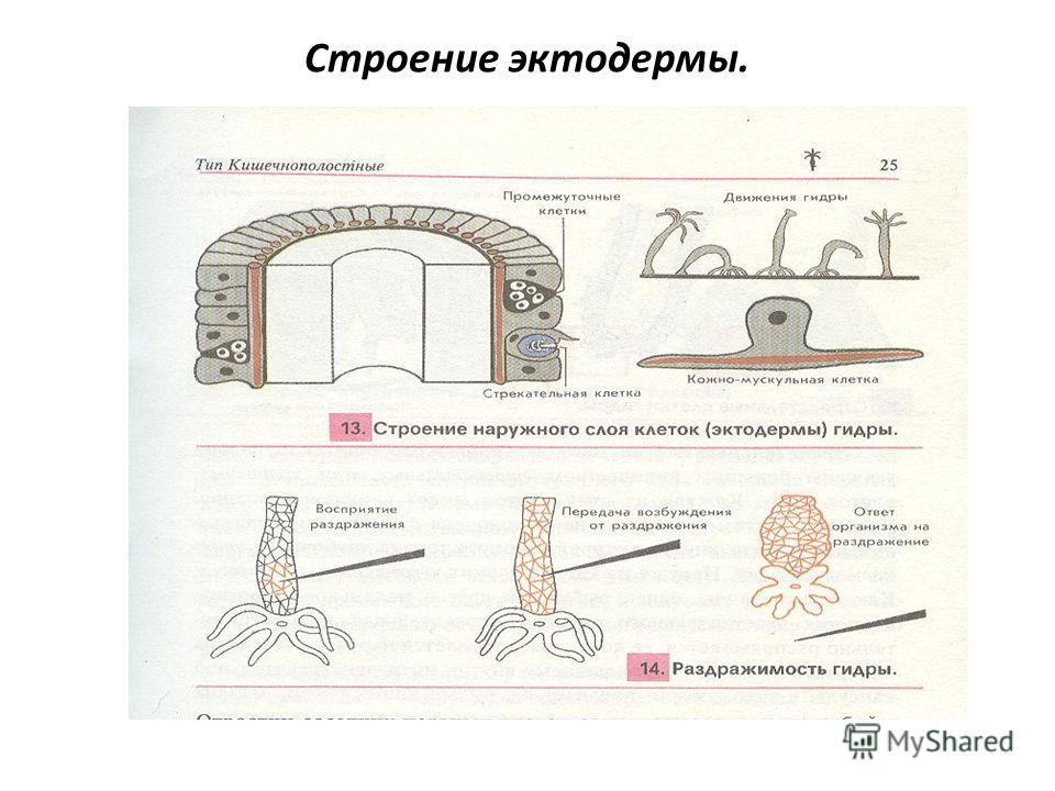 Строение эктодермы.
