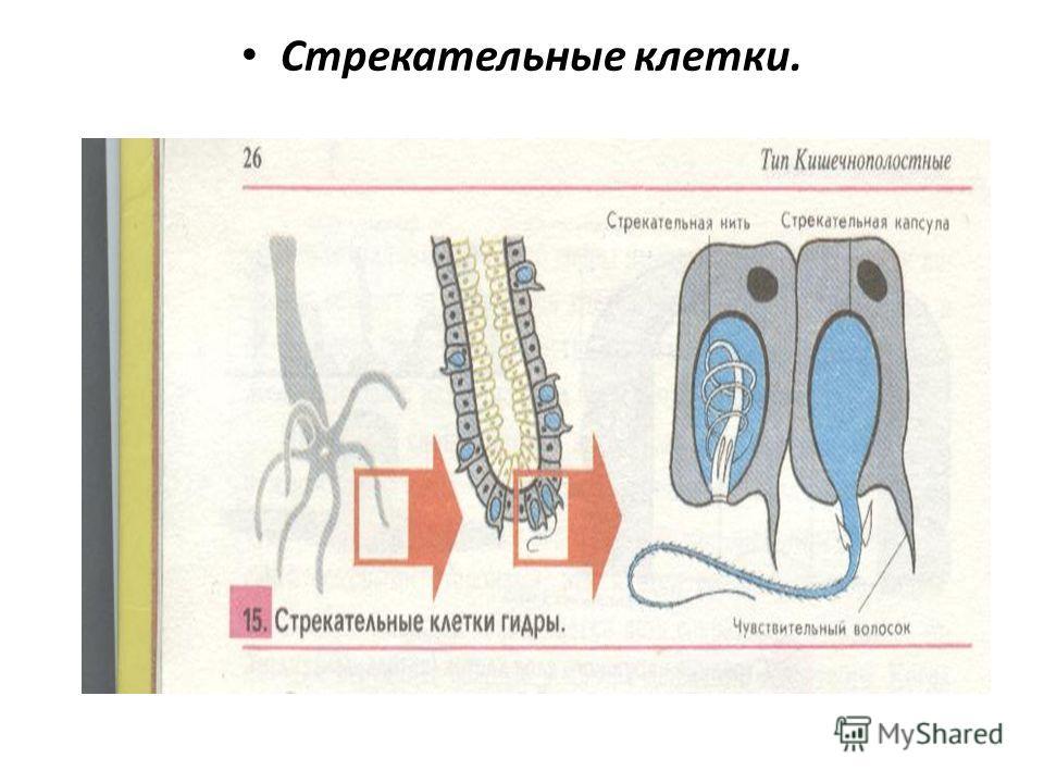 Стрекательные клетки.