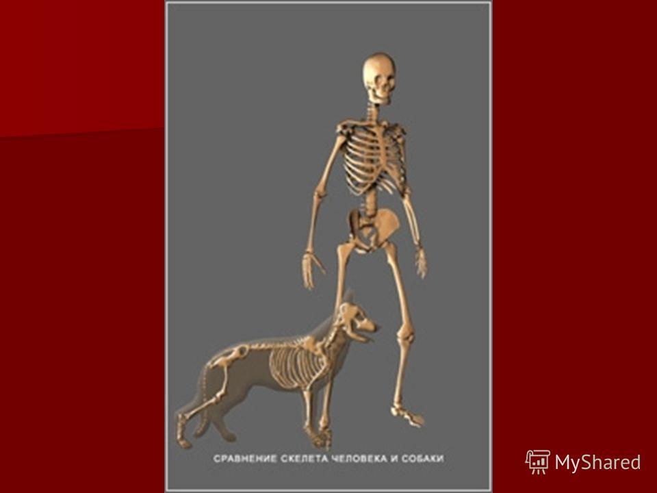 Цели и задачи урока: Познакомиться с основными отделами скелета человека, их строением и функциями; Познакомиться с основными отделами скелета человека, их строением и функциями; Научиться доказывать сходство млекопитающих животных и человека; Научит
