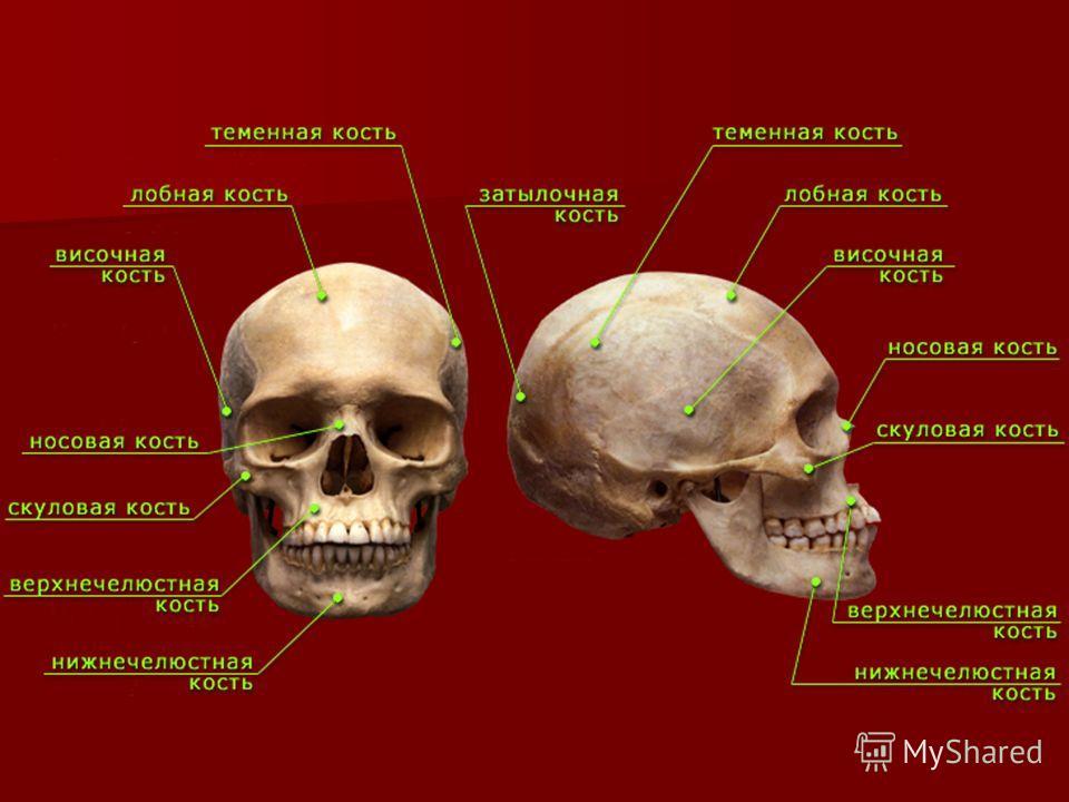 СКЕЛЕТ Осевой скелет Периферический скелет