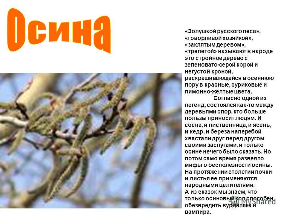 «Золушкой русского леса», «говорливой хозяйкой», «заклятым деревом», «трепетой» называют в народе это стройное дерево с зеленовато-серой корой и негустой кроной, раскрашивающейся в осеннюю пору в красные, суриковые и лимонно-желтые цвета. Согласно од