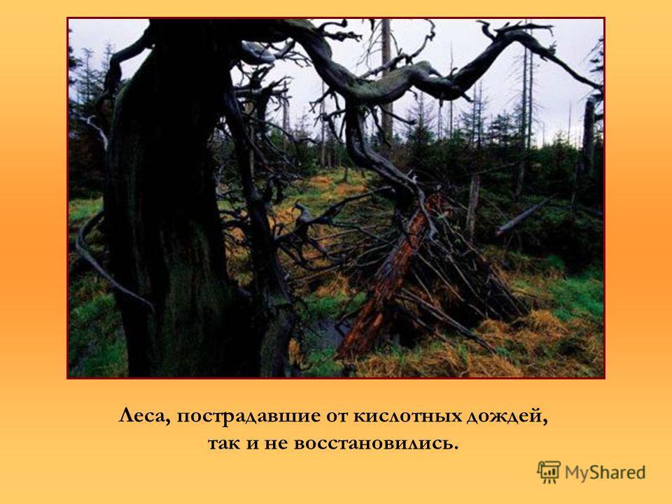 Леса, пострадавшие от кислотных дождей, так и не восстановились.