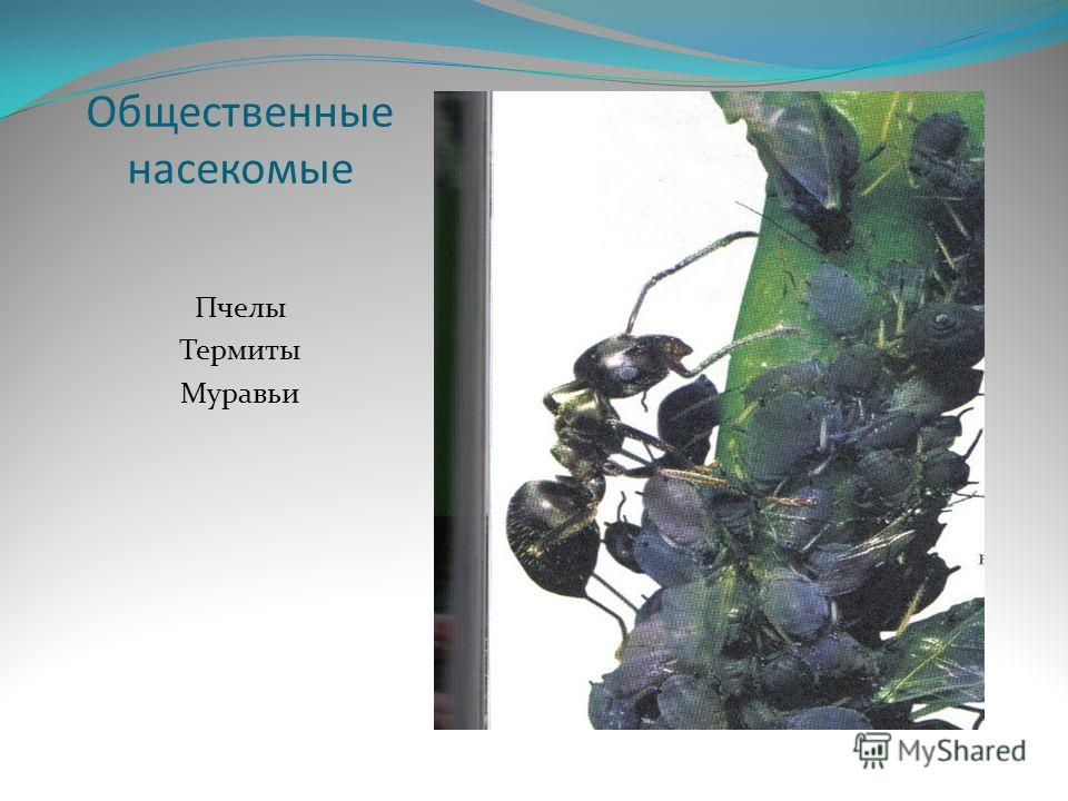 Общественные насекомые пчелы термиты