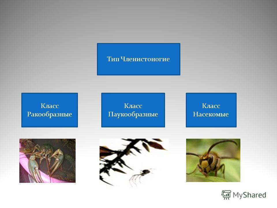 Класс паукообразные класс насекомые