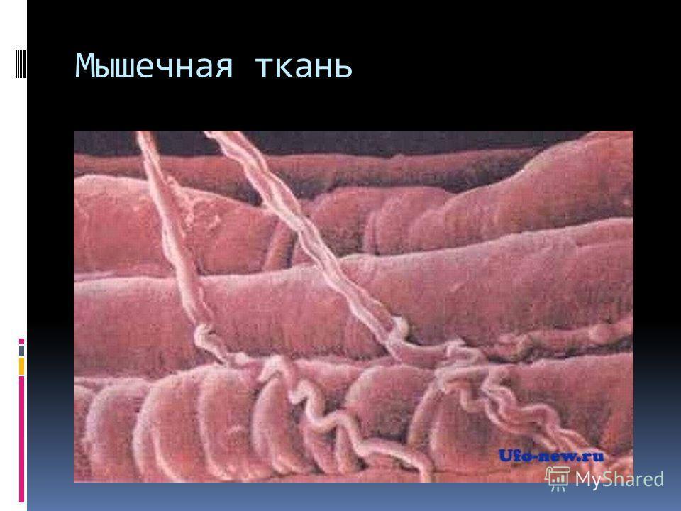 Мышечная ткань