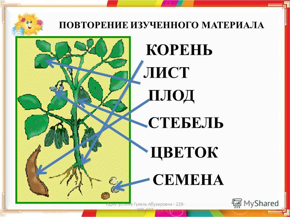 ПОВТОРЕНИЕ ИЗУЧЕННОГО МАТЕРИАЛА КОРЕНЬ ЛИСТ СТЕБЕЛЬ ЦВЕТОК ПЛОД СЕМЕНА Идиятуллина Гузель Абузаровна - 229- 006-197